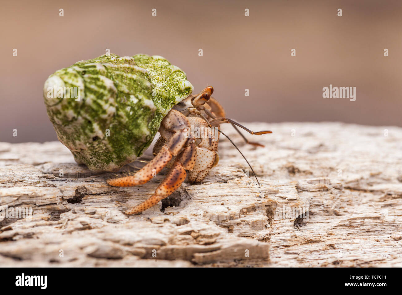 Caribbean Hermit Crab (Coenobita clypeatus) walking on dead tree on beach - Stock Image