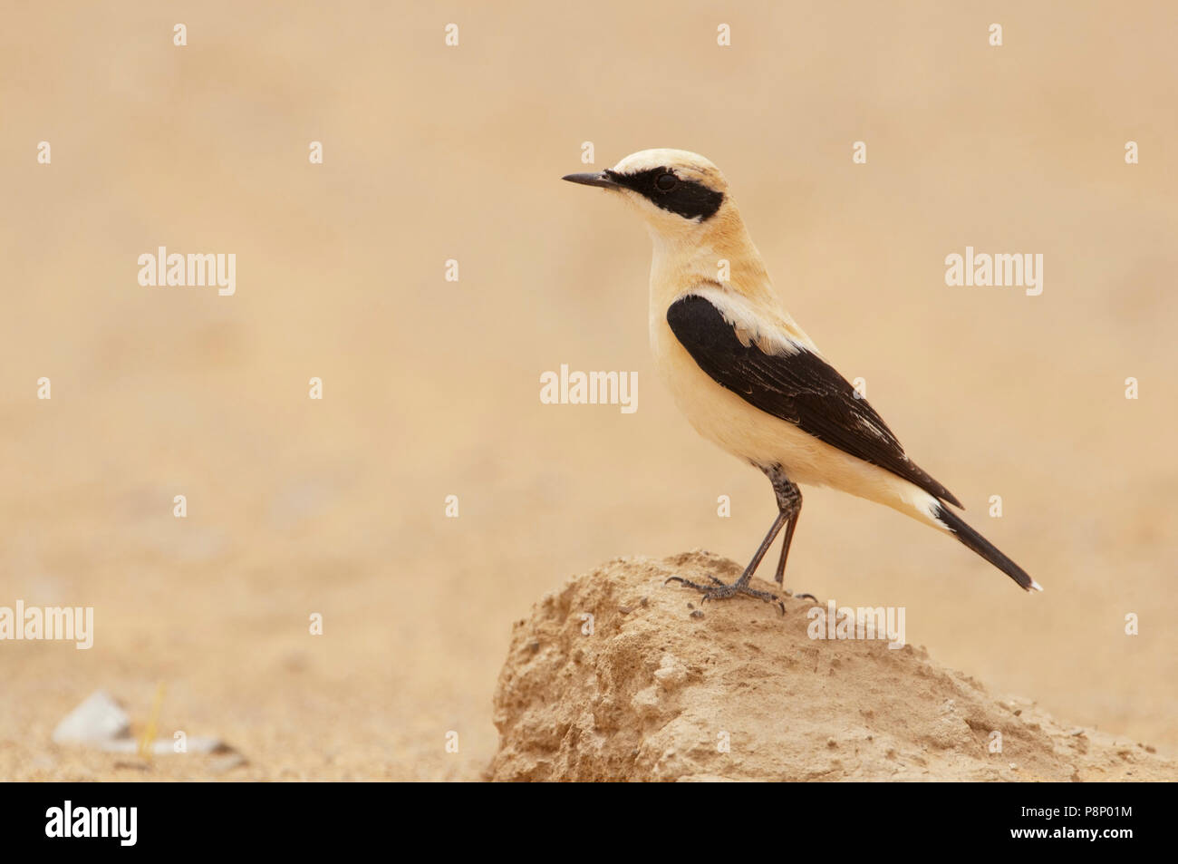 Western Black-eared Wheatear (Oenanthe hispanica) on spring migration in the desert - Stock Image