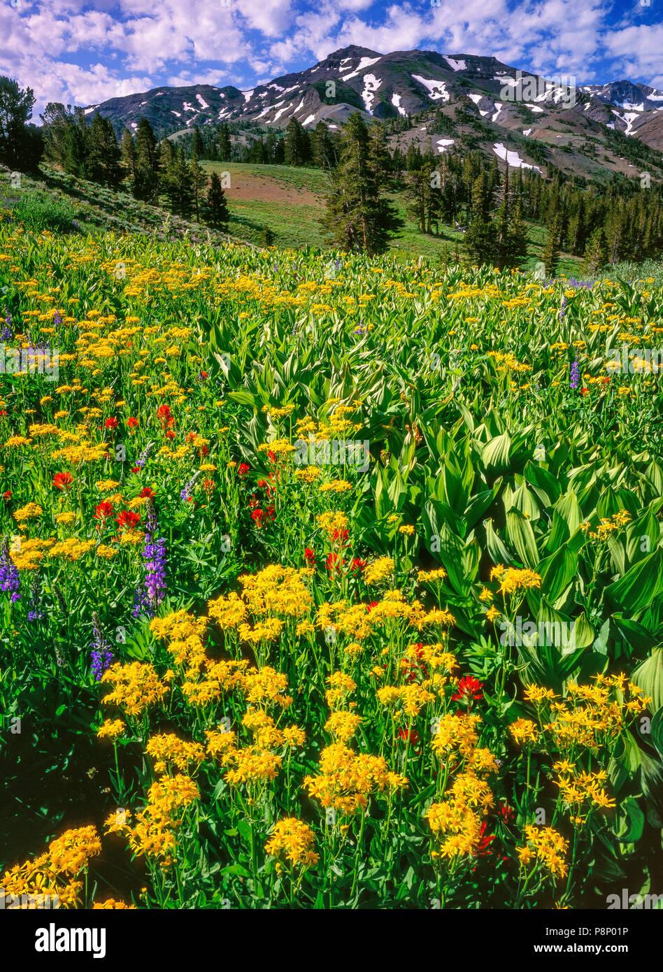 Groundsel, Paintbrush, Lupin, Carson-Iceberg Wilderness, Stanislaus National Forest, Sierra Nevada Mountains, California - Stock Image