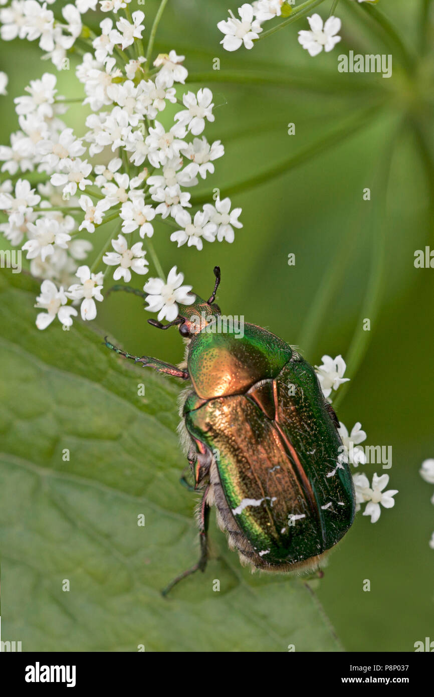 Rose chafer on white flowers Stock Photo