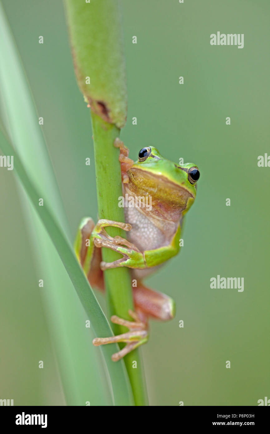Hyla arborea; common tree frog - Stock Image