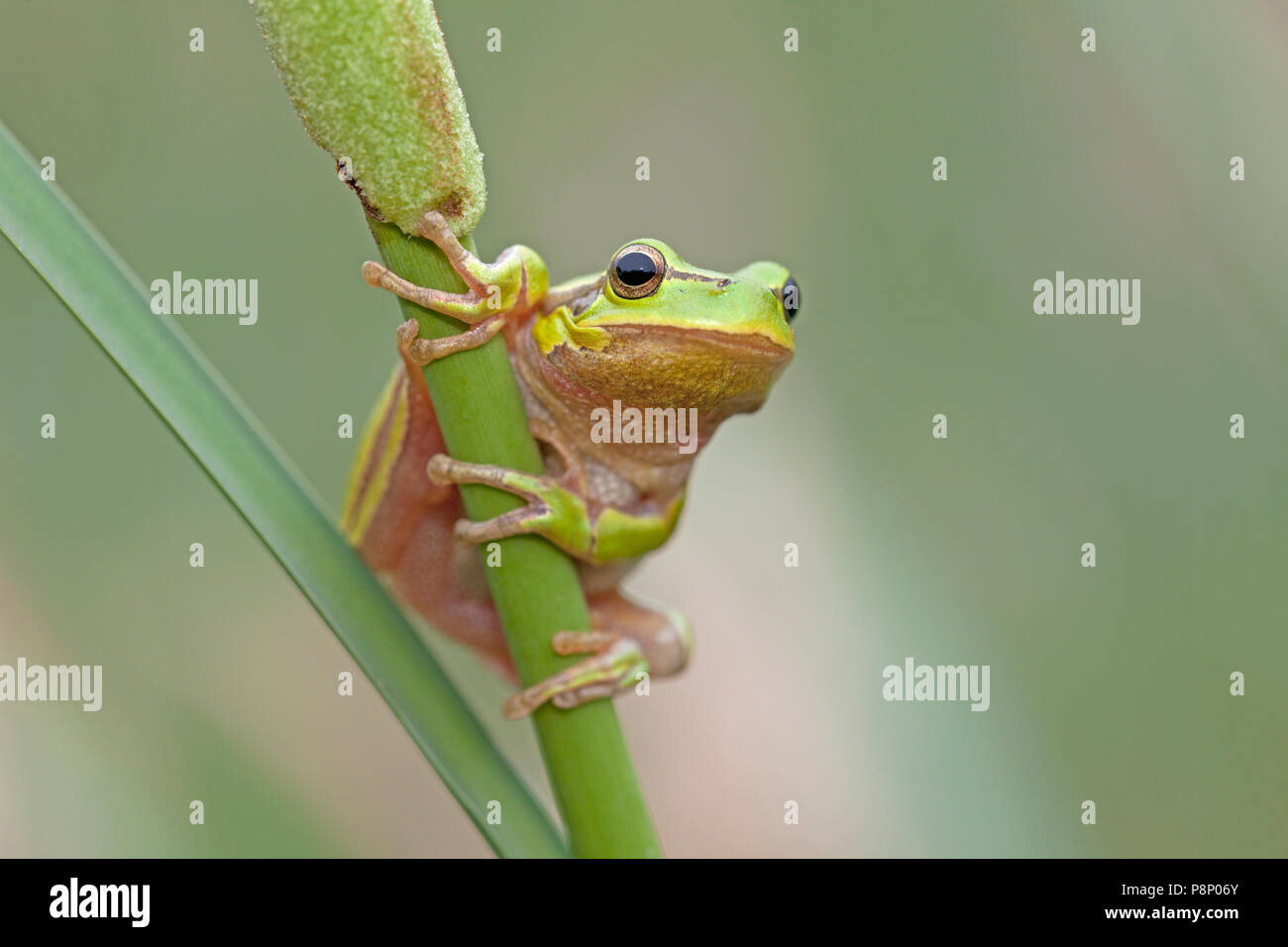Hyla arborea; common tree frog Stock Photo