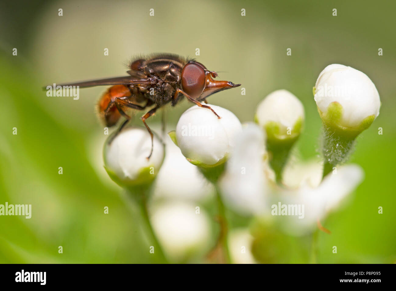 common snout-hoverfly on white flowers - Stock Image