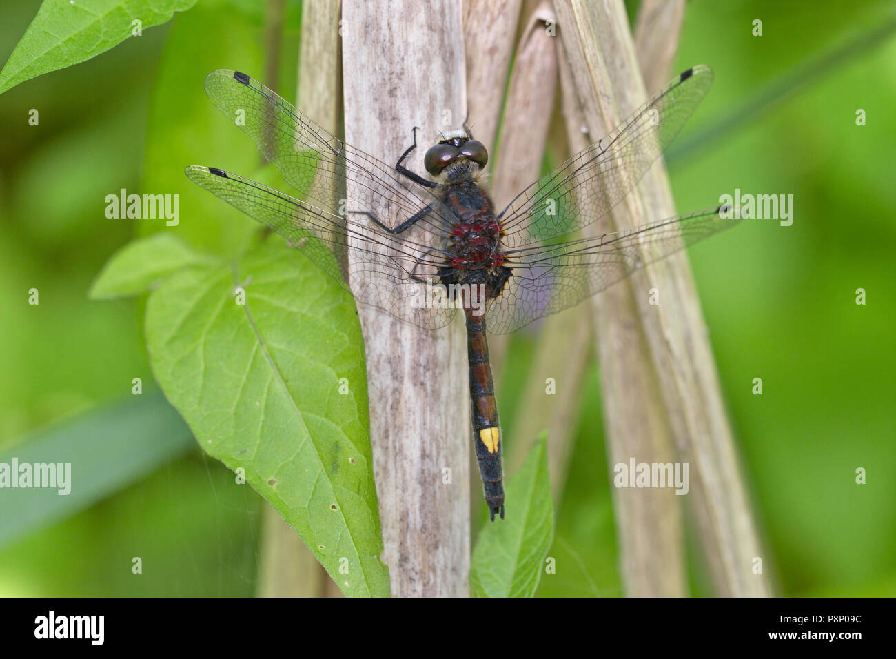 Large White-faced Darter on reed Stock Photo