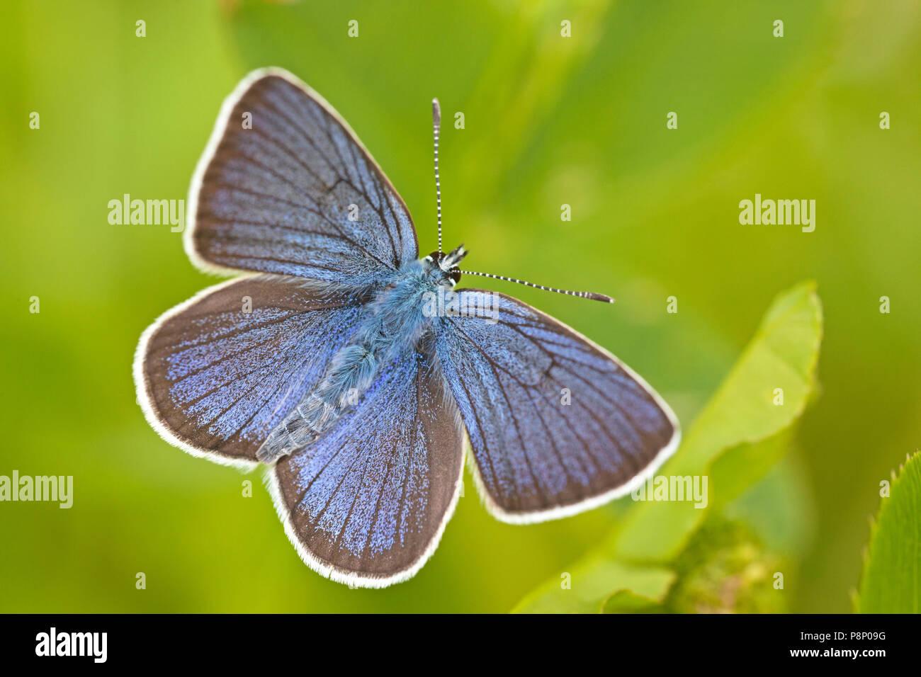 Mazarine blue (Polyommatus semiargus) against bright green background - Stock Image