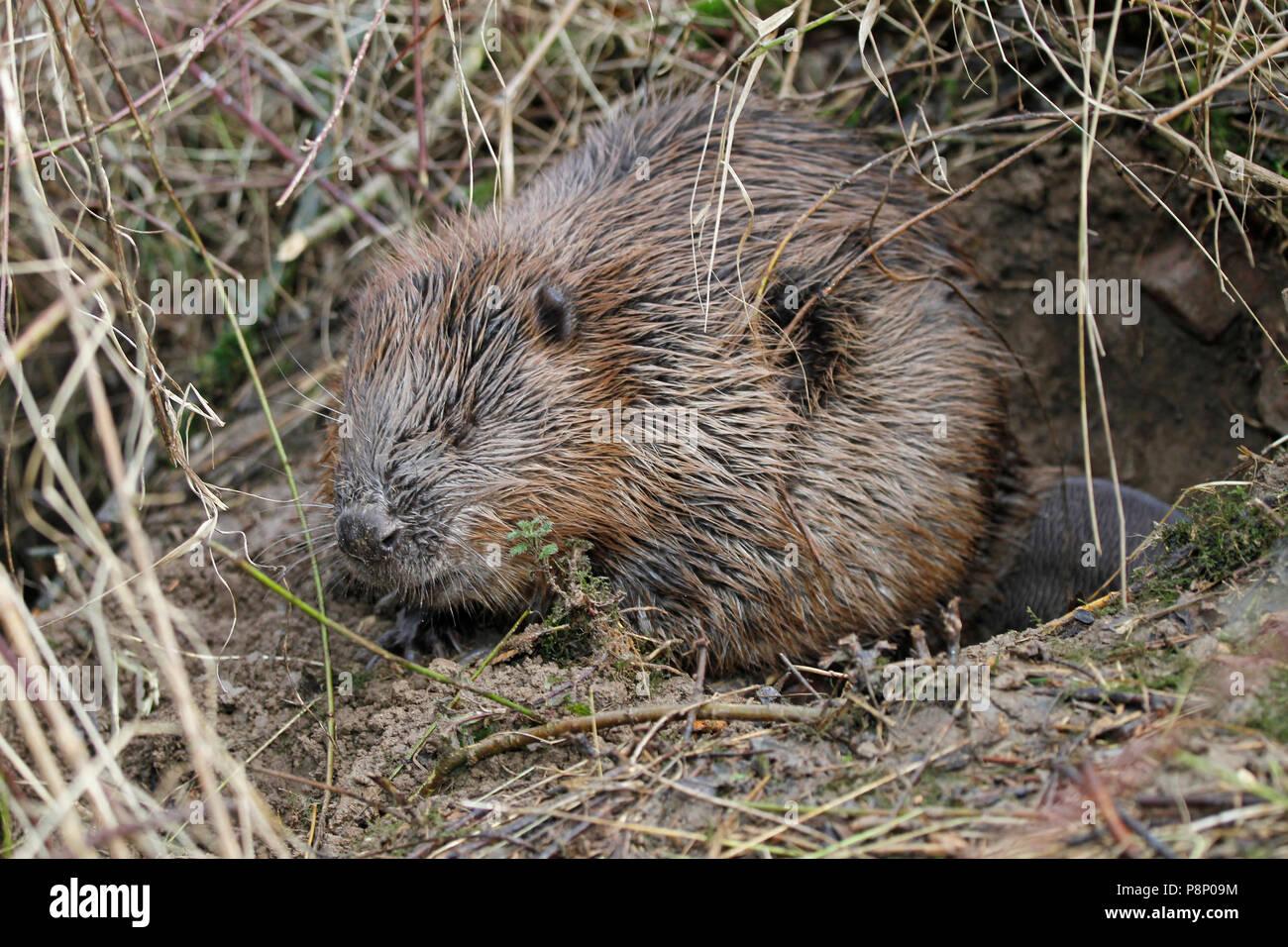 sleeping beaver Stock Photo