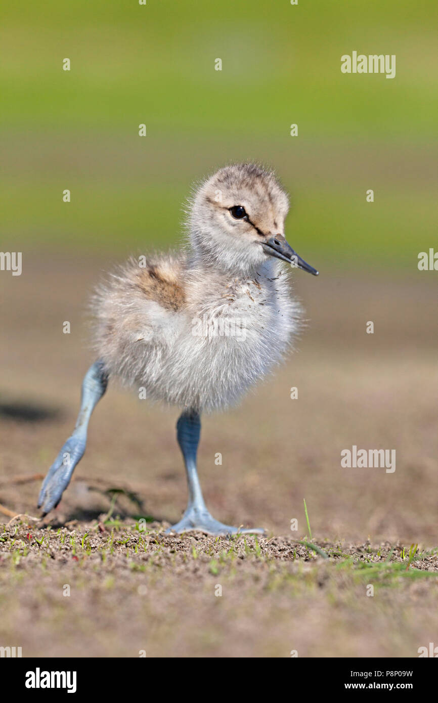 young avocet chick on dry mud - Stock Image