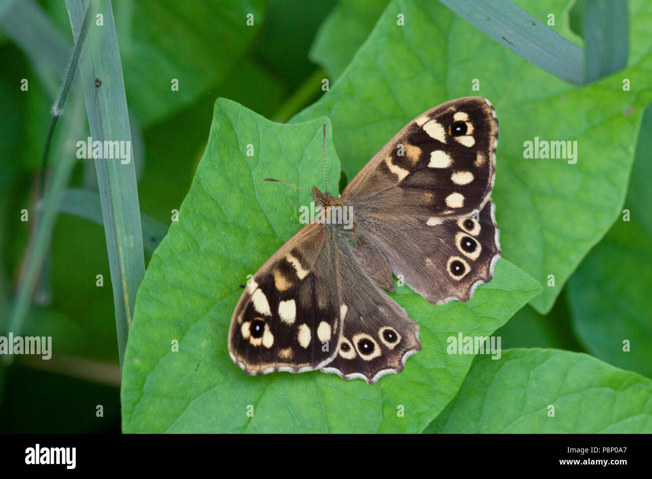 female Speckled Wood - Stock Image
