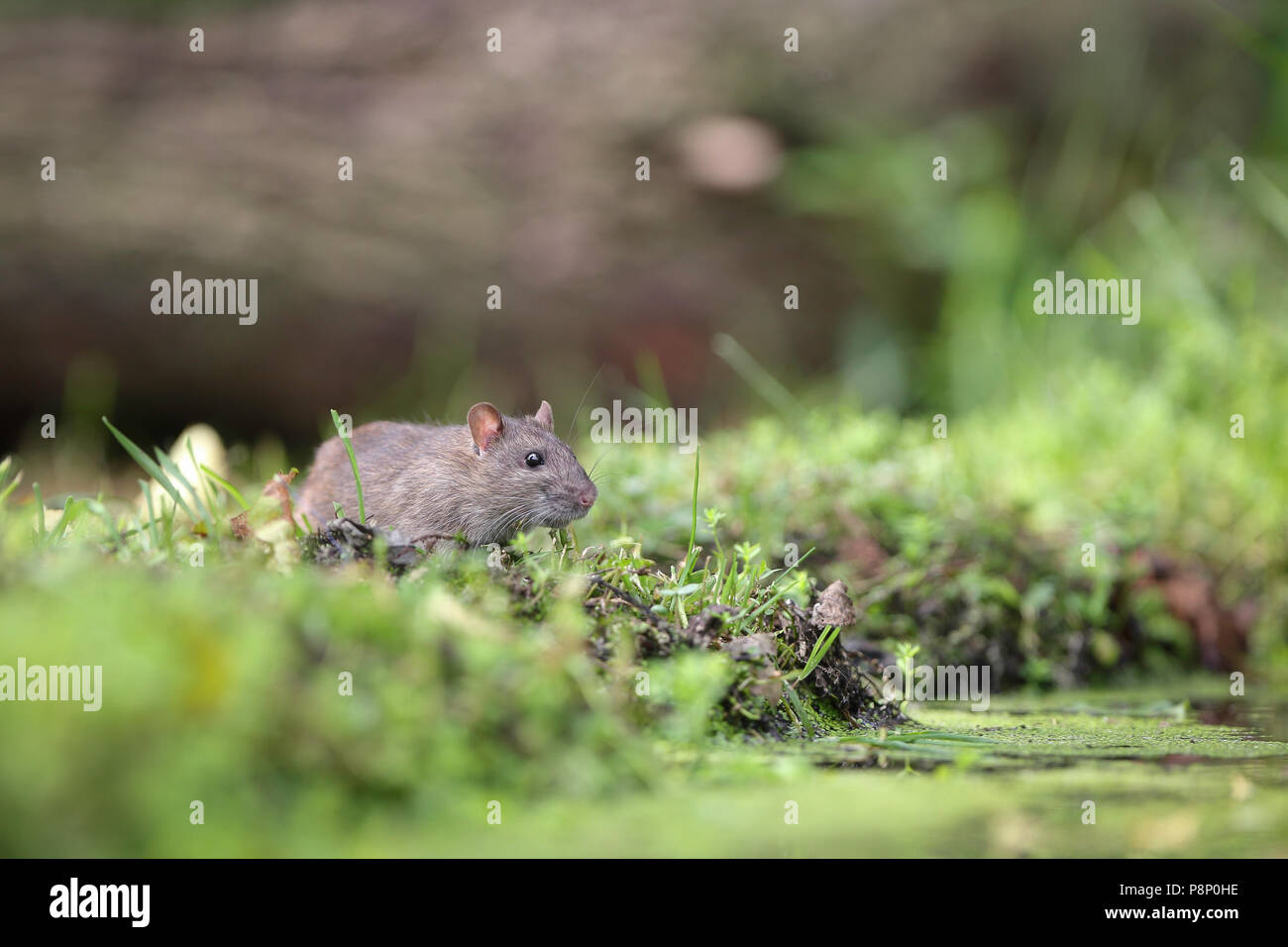 Juvenile brown Rat (Rattus norvegicus) still with grey fur on its way to the pool to drink - Stock Image