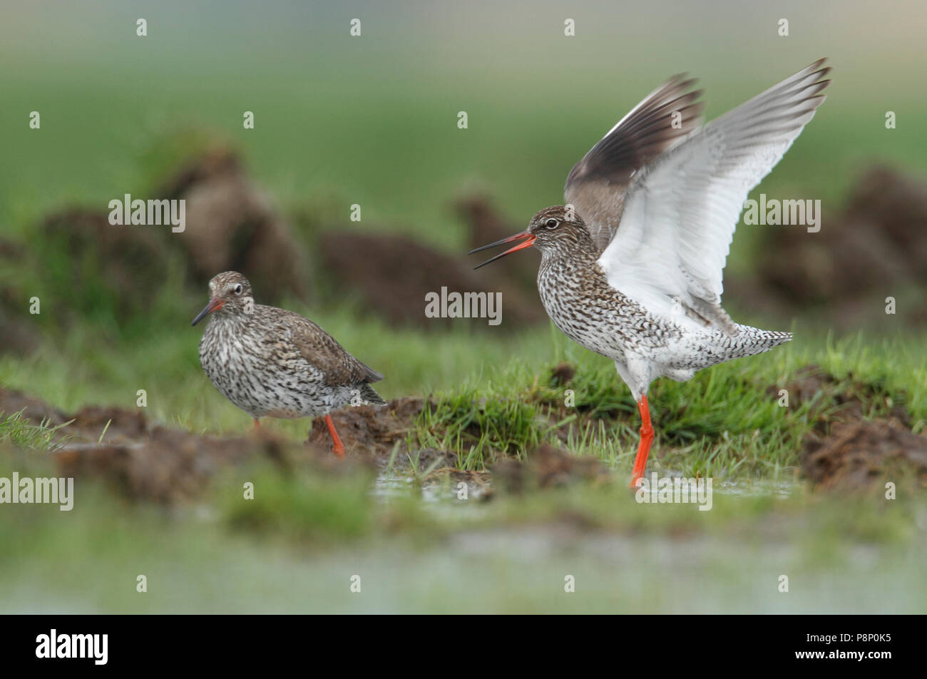 Common redshank courting on wet farmers land - Stock Image