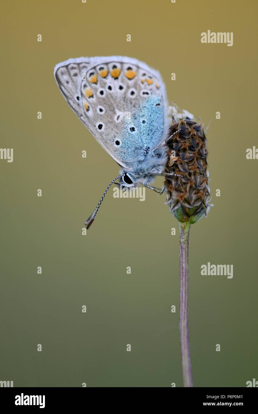 Common Blue (Icarusblauwtje) with closed wings resting on a plant in soft sunlight during sunset - Stock Image