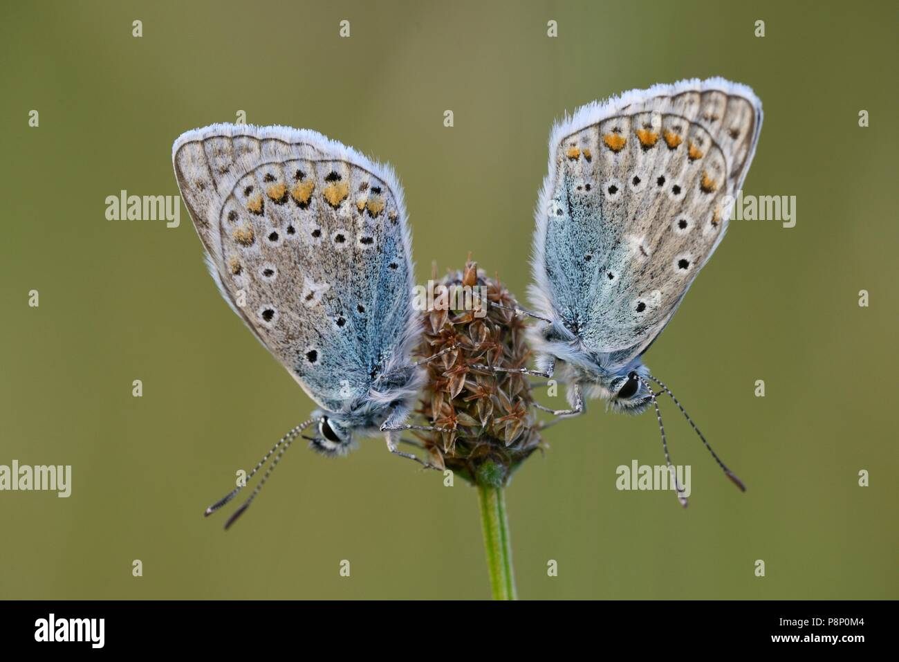 Two Common Blues (Polyommatus icarus) with closed wings resting on a plant in soft sunlight during sunset - Stock Image