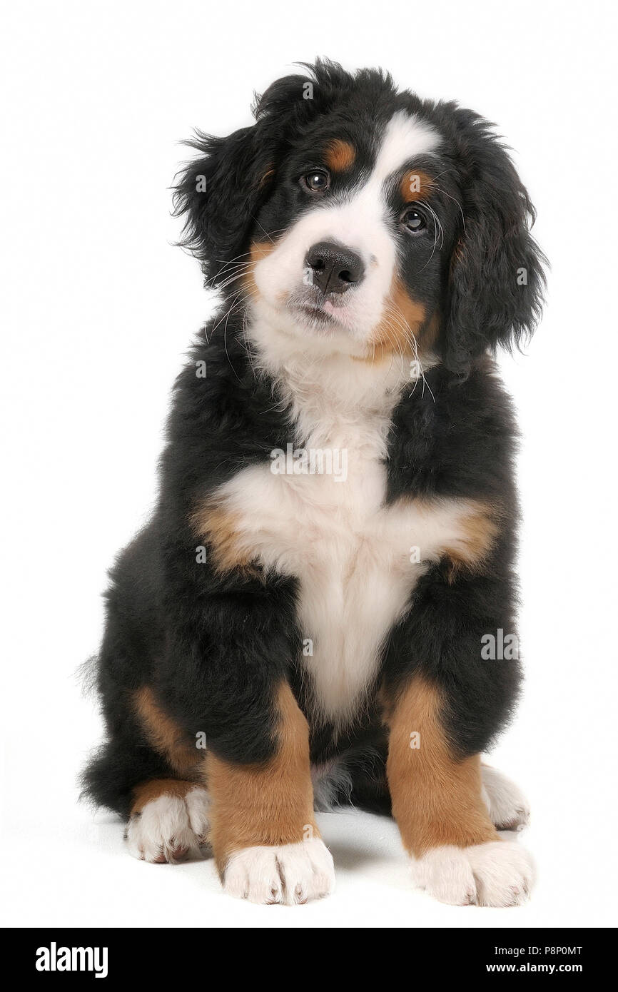 Bernese mountain dog puppy. - Stock Image