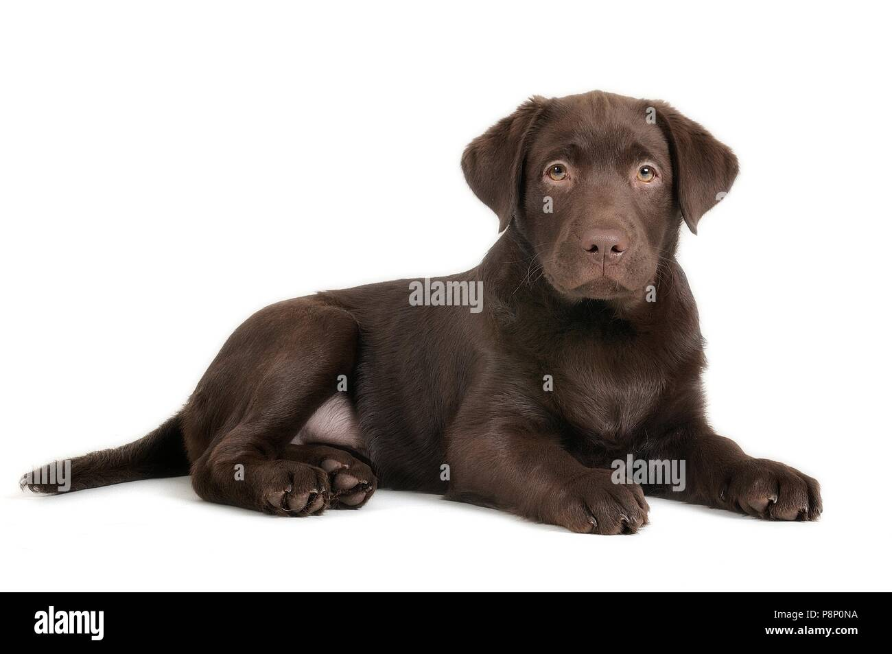 Labrador puppy in the photostudio. - Stock Image