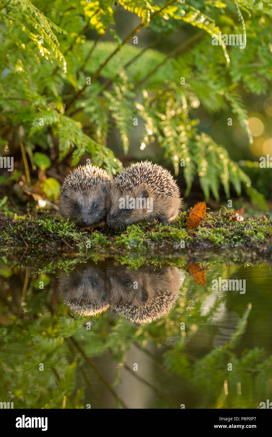 two young hedgehogs being mirorred at the edge of water - Stock Image