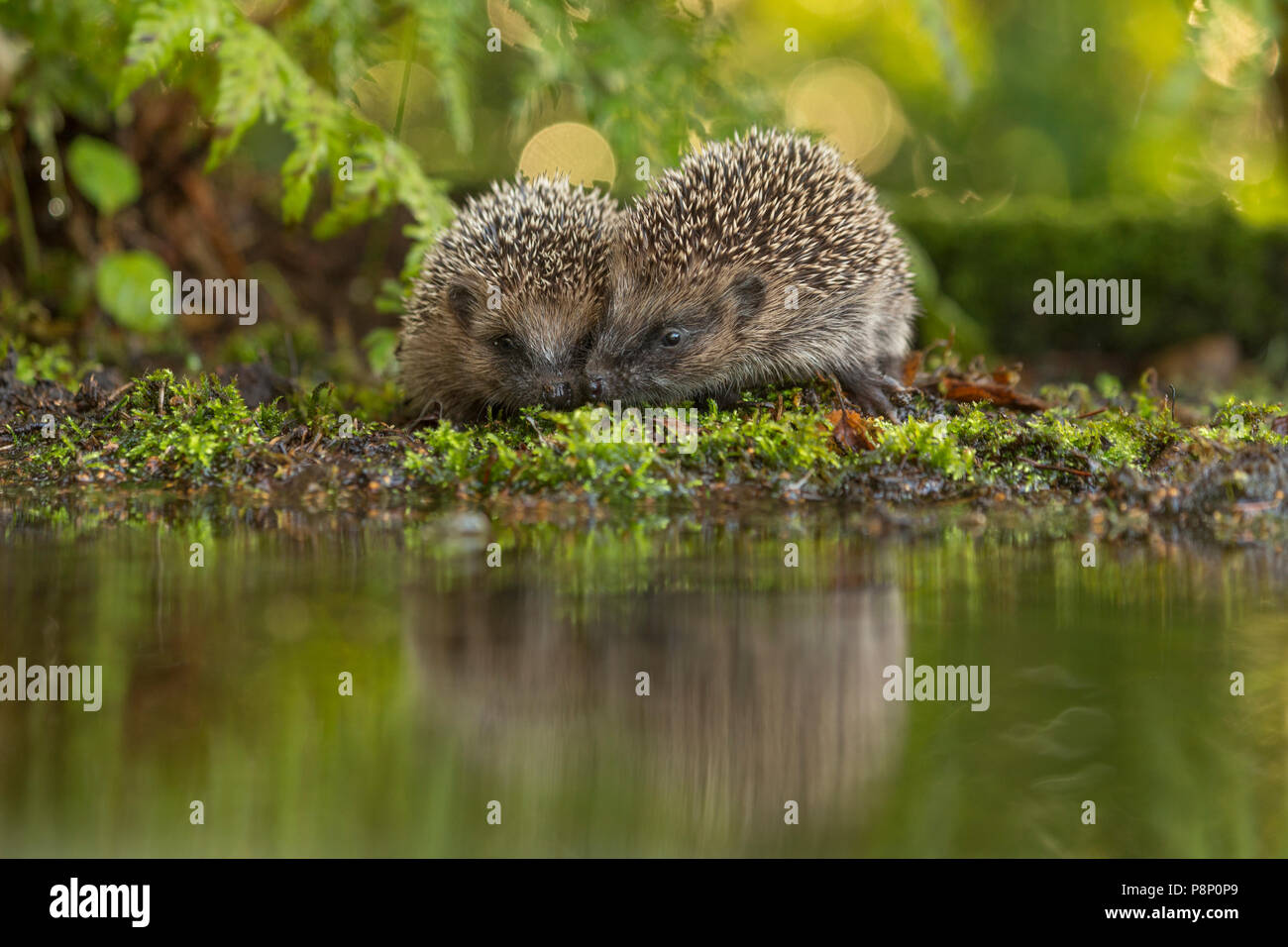 two hedgehogs at the waterfront - Stock Image