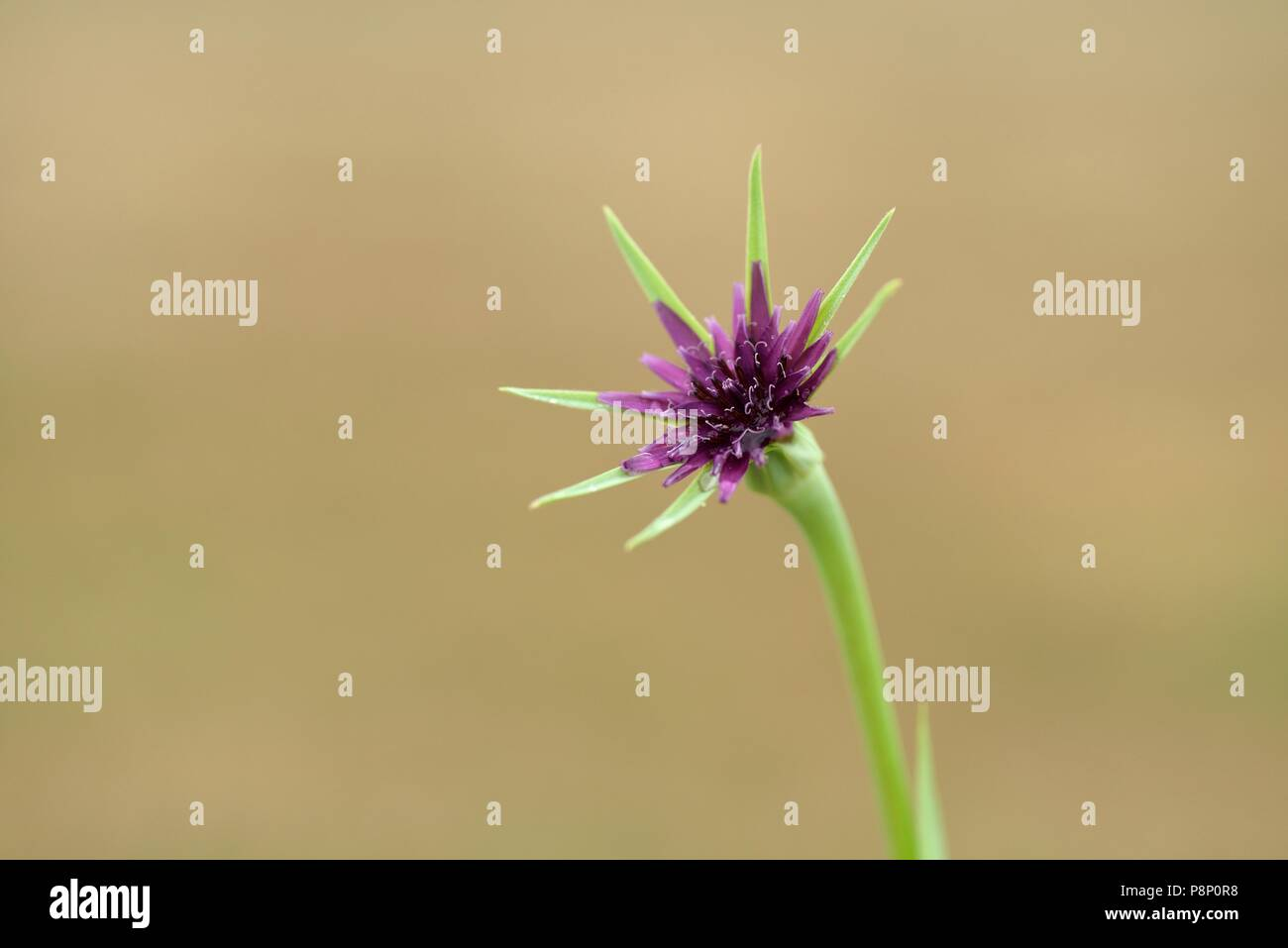 Detailed view on the inflorescence of Salsify - Stock Image