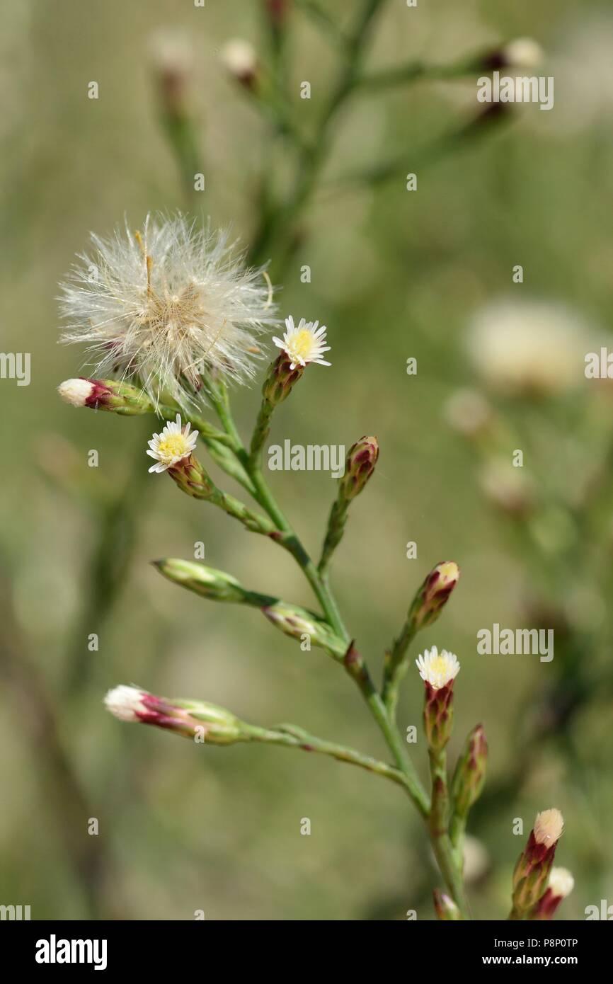 Flowering Narrow-leaved Aster - Stock Image