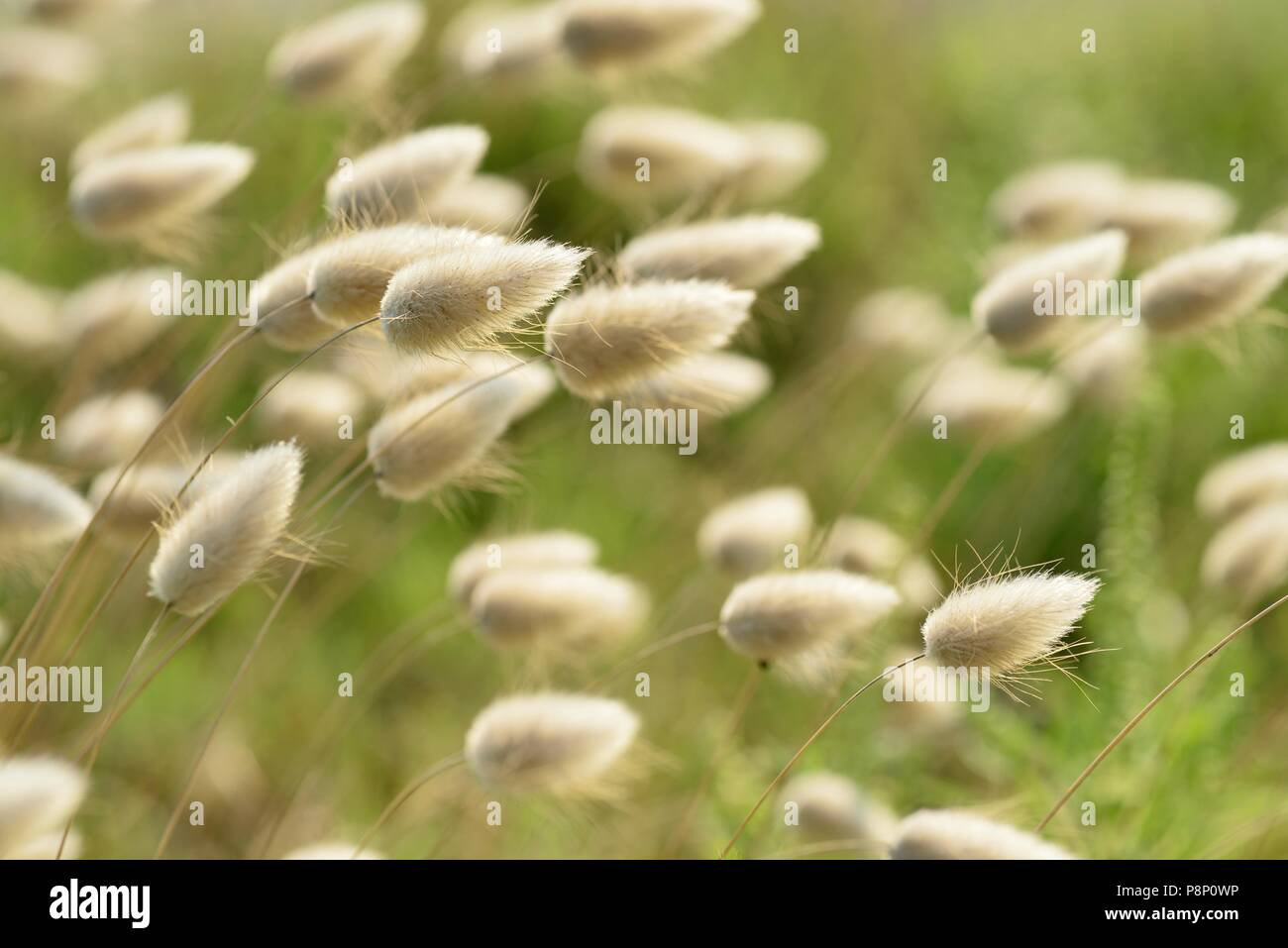 Flowering Hare's-tail - Stock Image