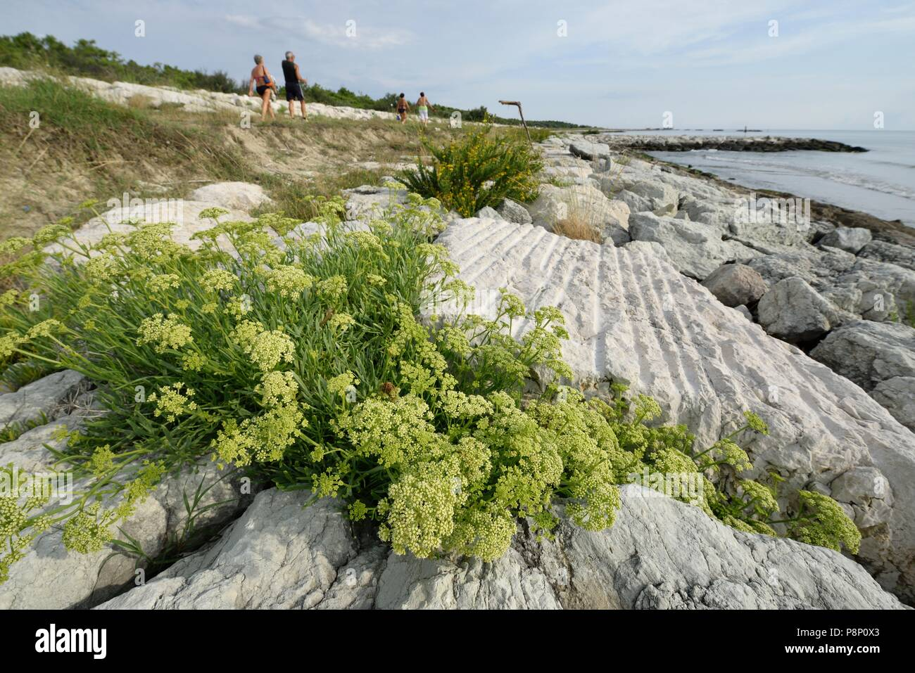 Flowering Rock Samphire on sea dike Stock Photo