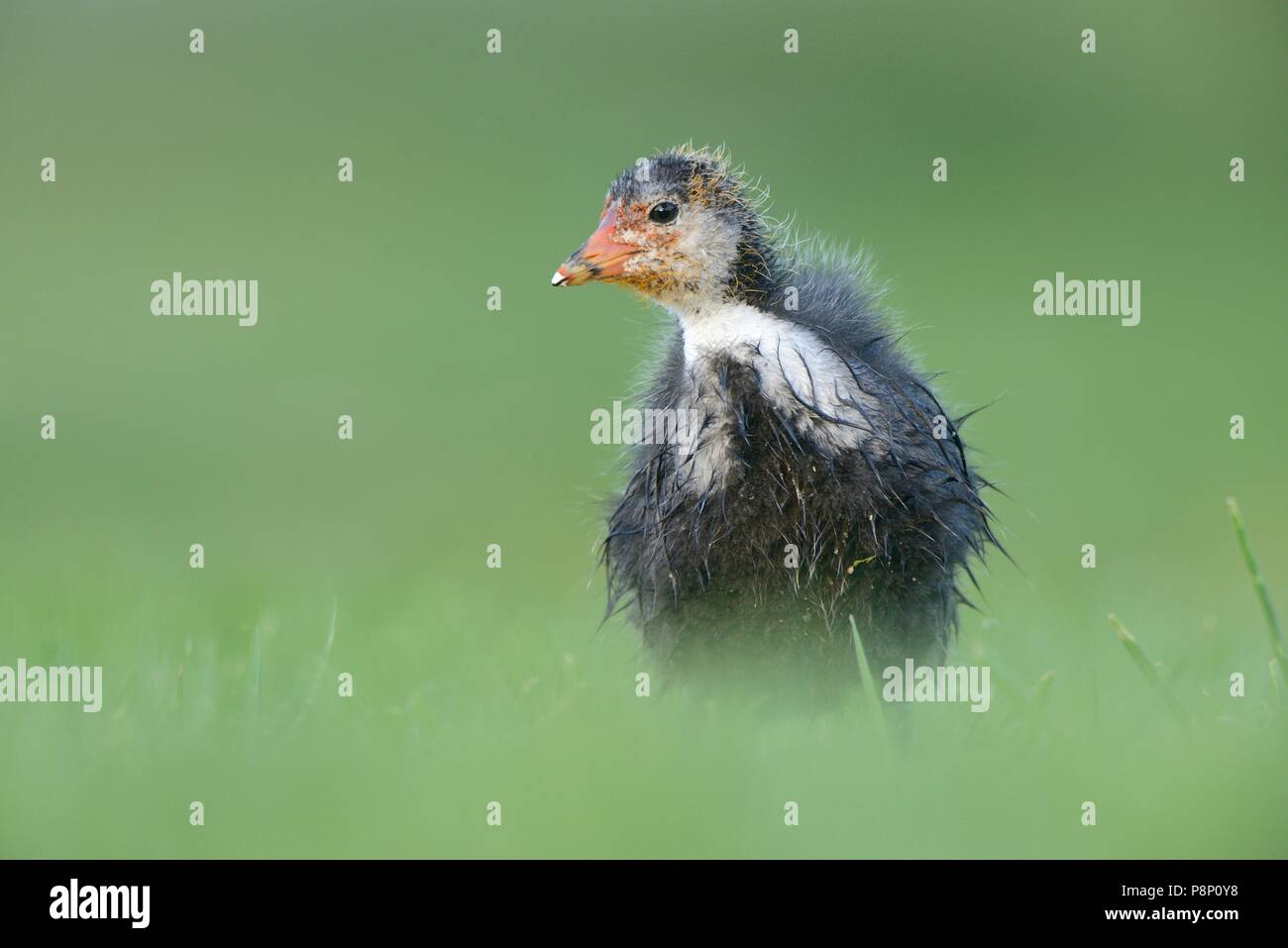 Foraging chick of a Coot on lawn Stock Photo