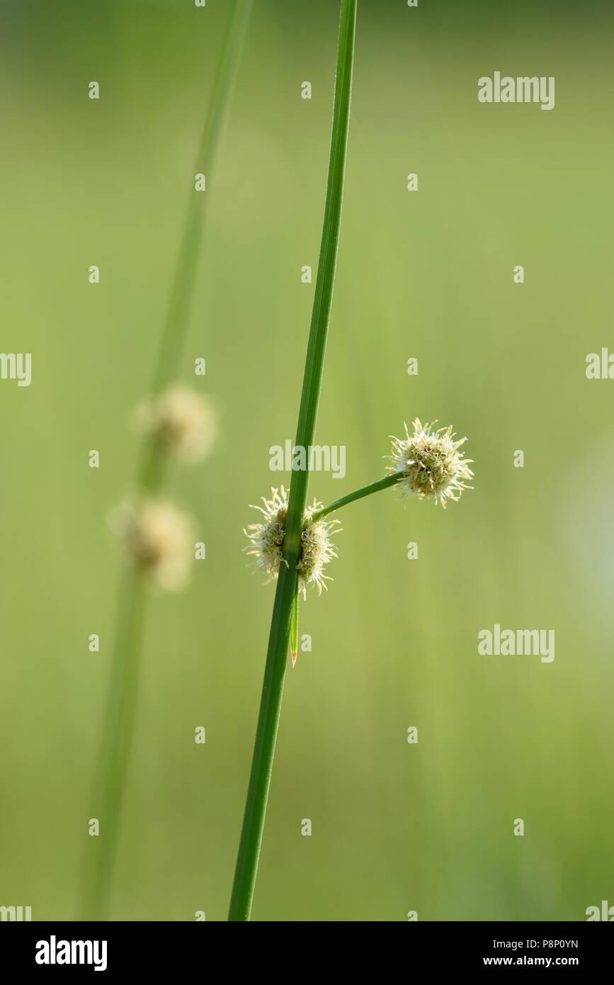Flowering Round-headed Club-rush - Stock Image