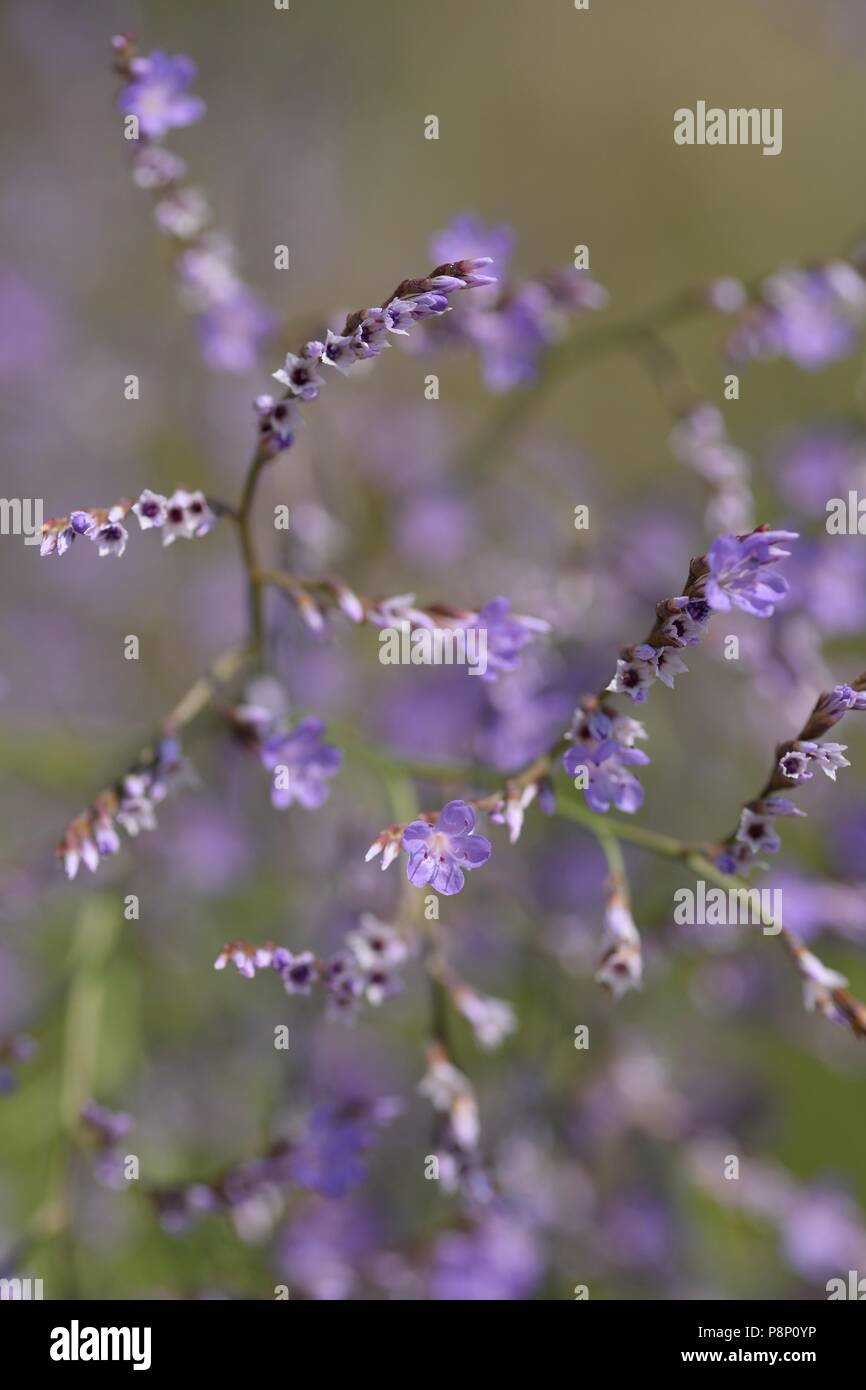 Flowering Lax-flowered Sea-lavender - Stock Image
