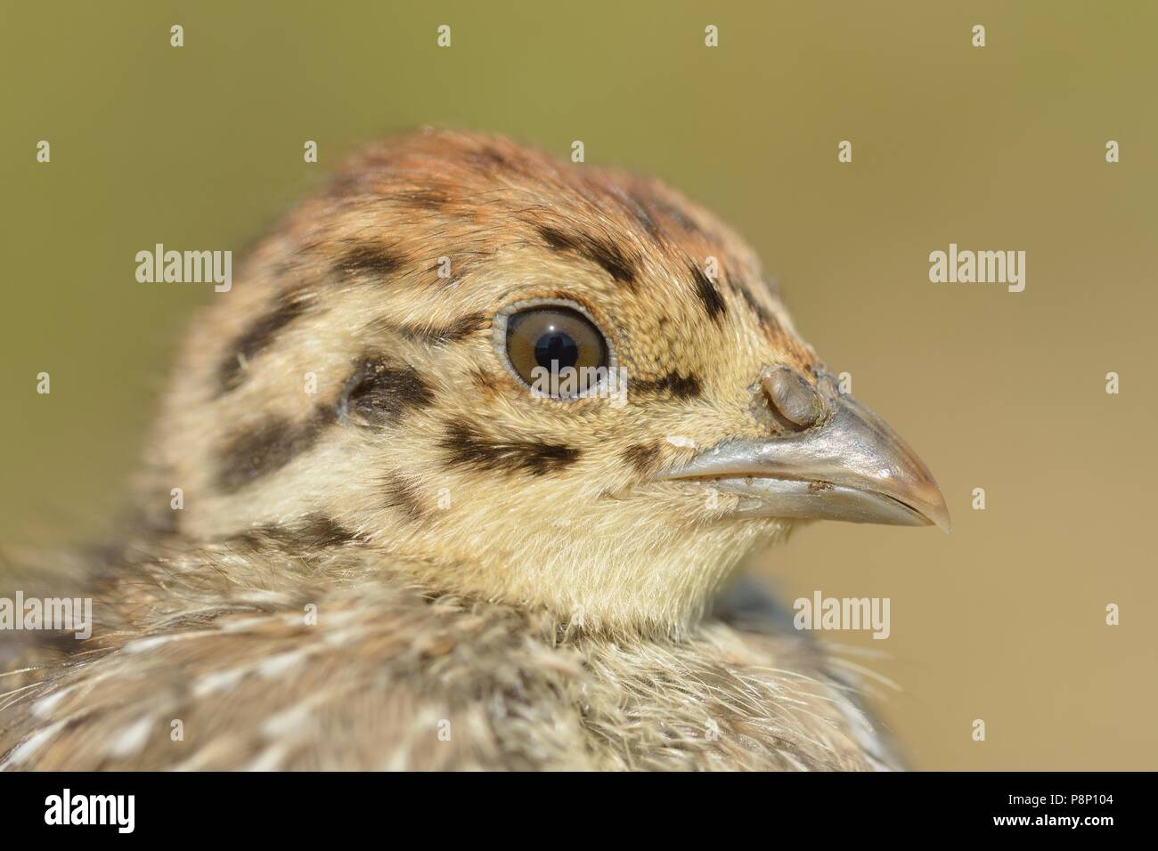 Chicken of Grey Partridge - Stock Image