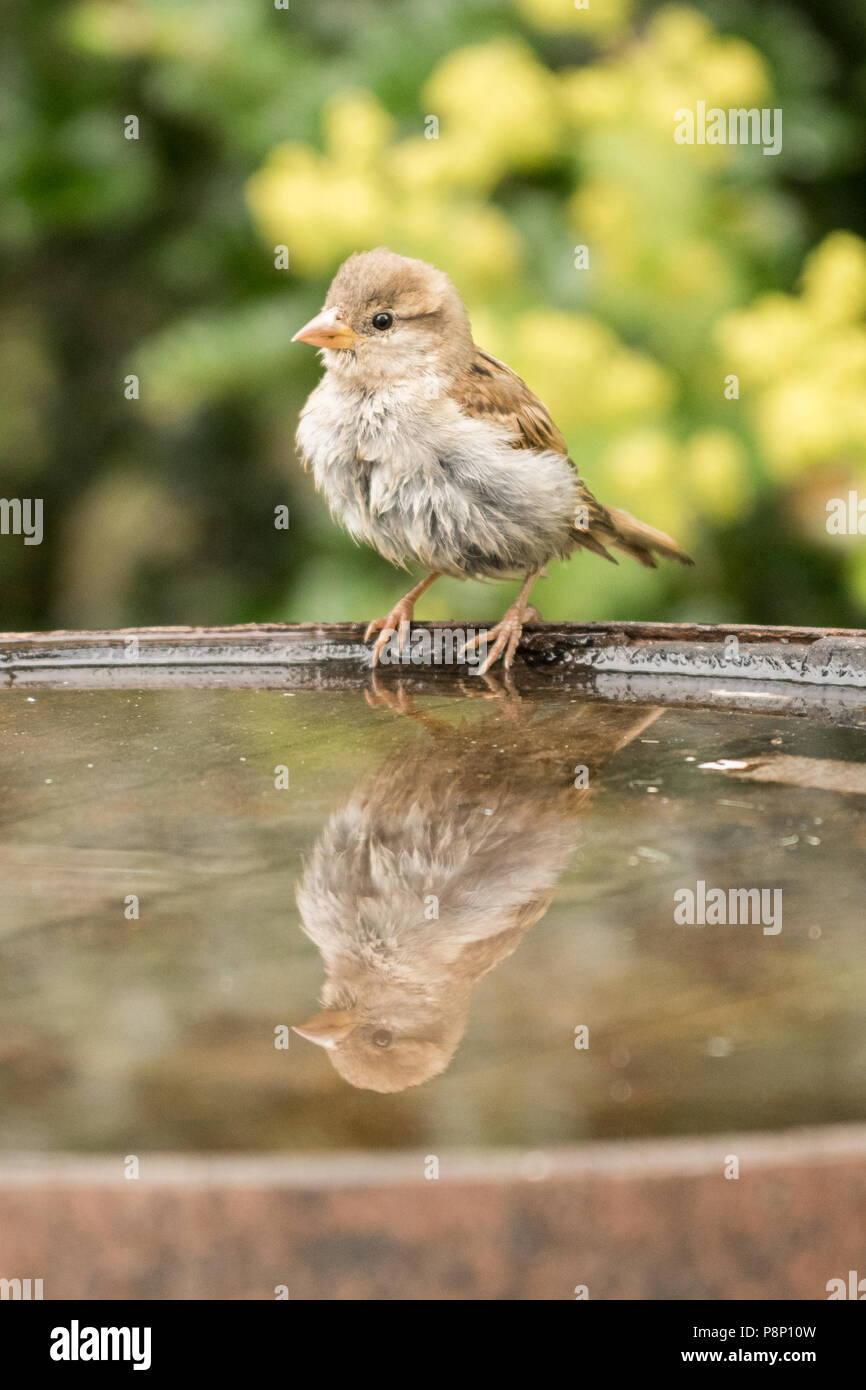 House sparrow juvenile - passer domesticus - reflected in bird bath - uk - Stock Image