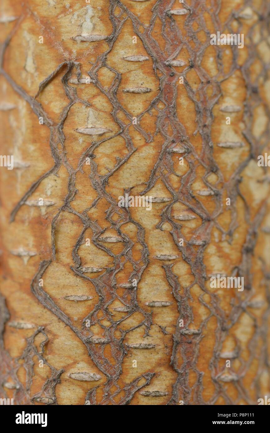 Detail of the Silver Birch - Stock Image