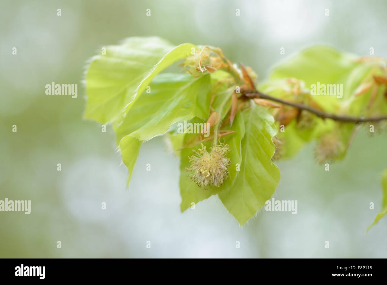 Flowering Beech - Stock Image