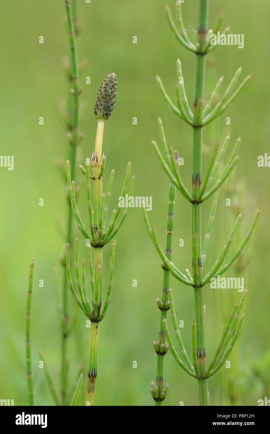 Horsetail marsh: description, properties 93