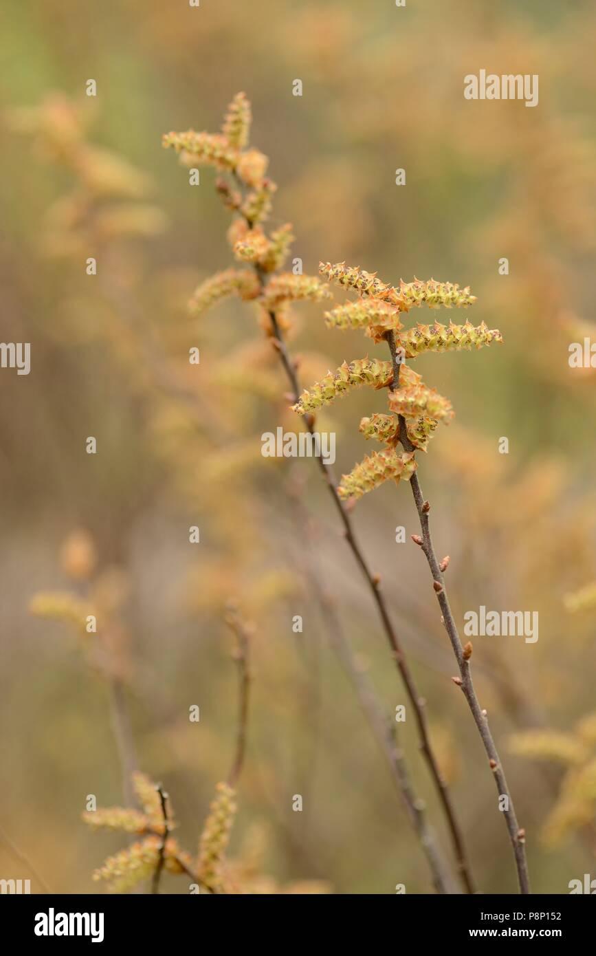 Flowering Bog Myrtle - Stock Image