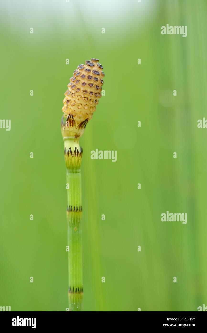Flowering Waterhorsetail - Stock Image