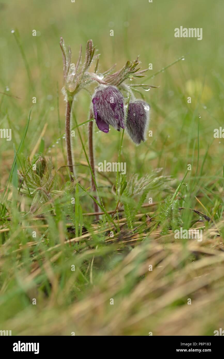 Detailed view on Mountain Pasque Flower Stock Photo