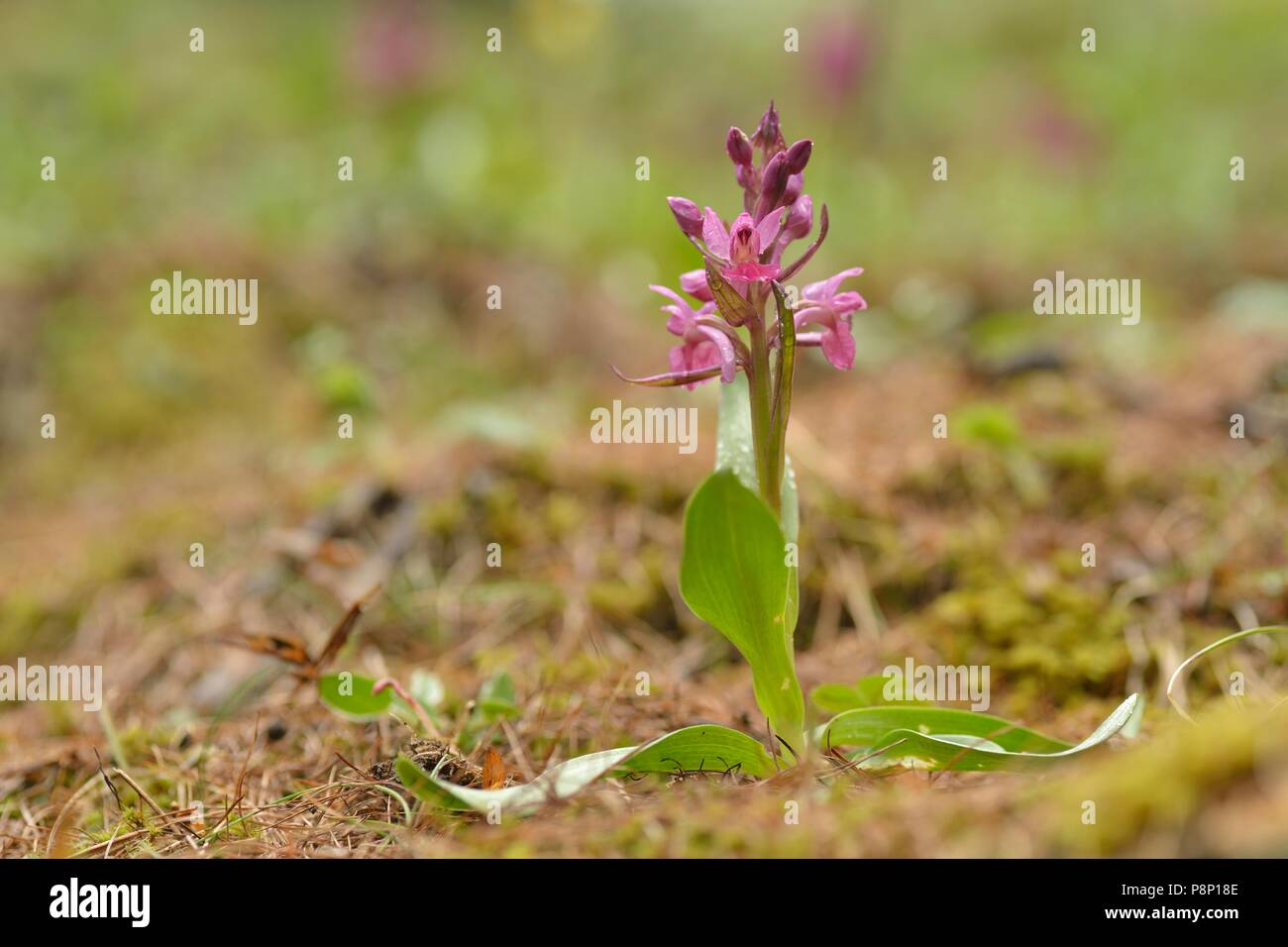 Flowering Elder-flowered Orchid, one of the few species which has two different colored flowers between all populations - Stock Image