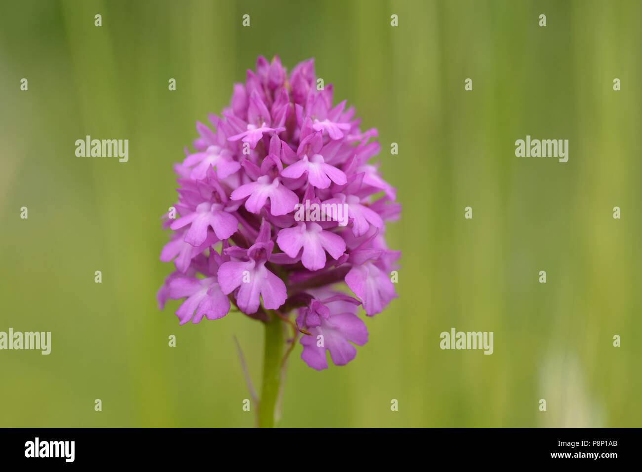 Flowering Pyramidal orchid on calcareous slope - Stock Image