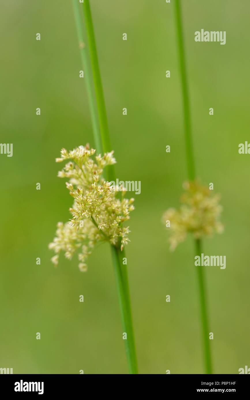 Flowering Soft rush in shallow pond - Stock Image