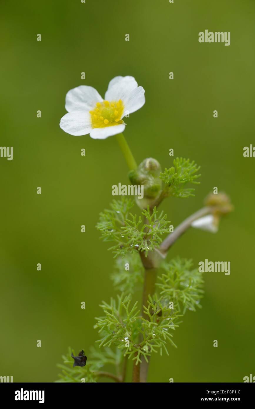 Flowering Fan-leaved Water-crowfoot - Stock Image