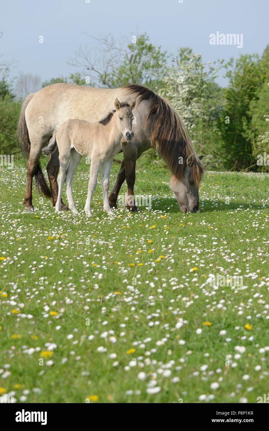 Mother and child of Polish primitive horses feeding between spring flowers - Stock Image