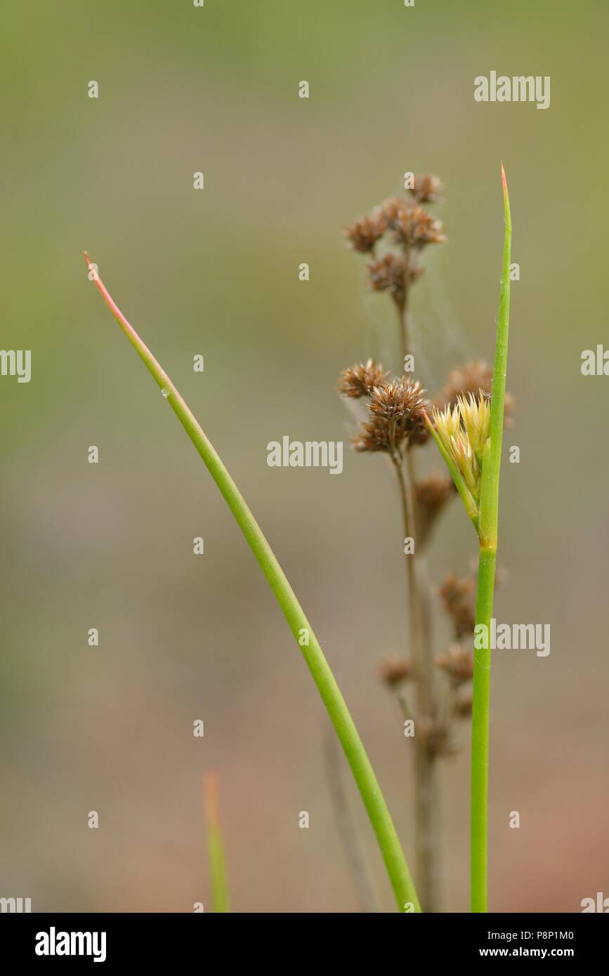 Flowering and fruiting Canadian rush - Stock Image