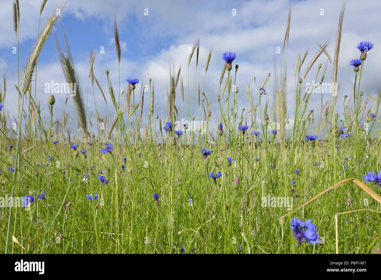 Flowering Cornflowers in wheatfield - Stock Image