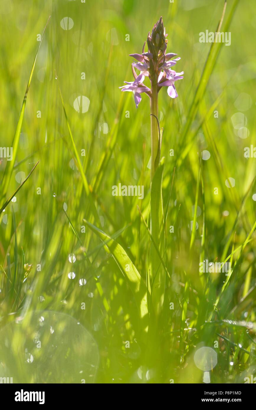 Flowering Southern Marsh-orchid - Stock Image