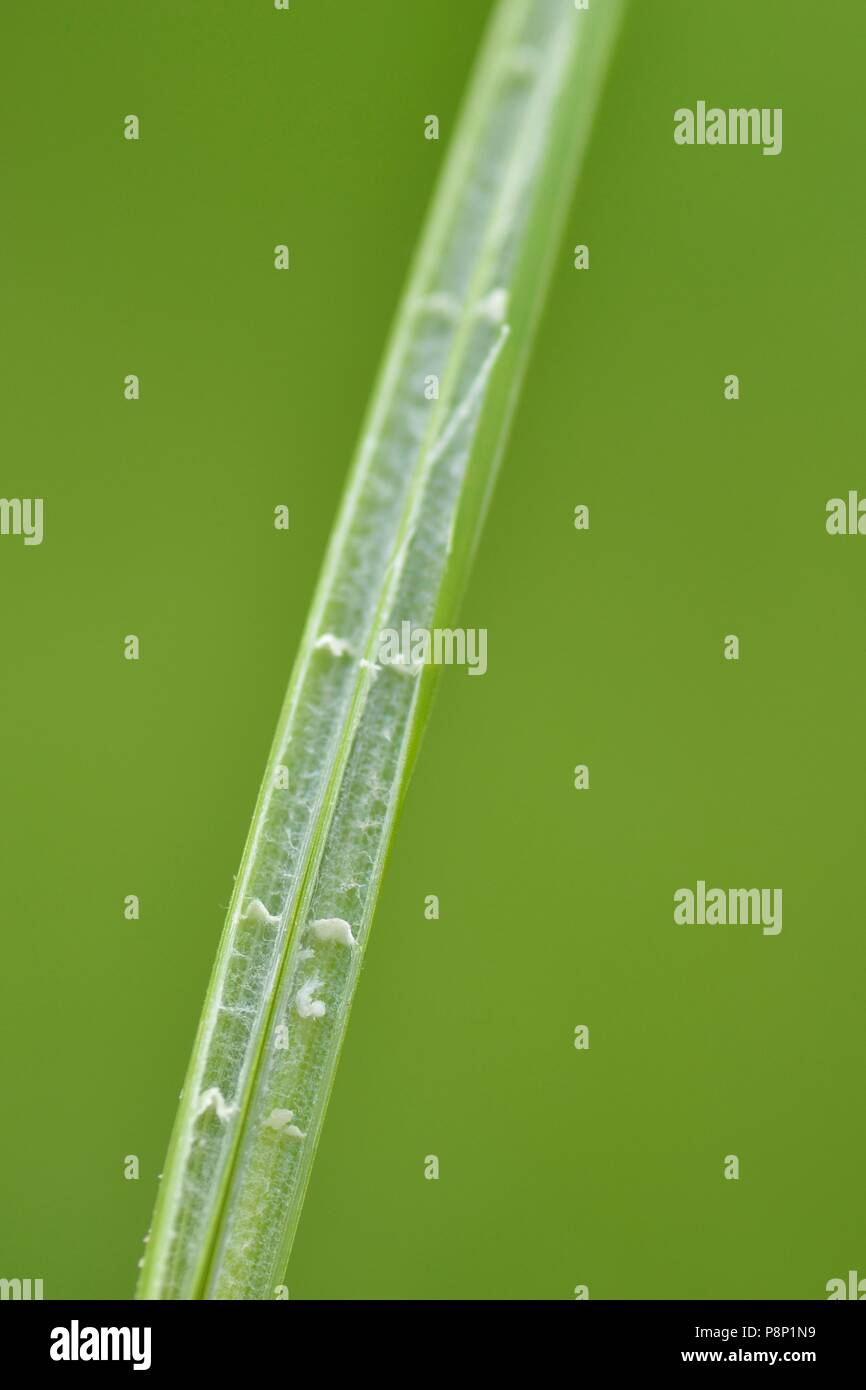 Detail of the stem of the Blunt-flowered Rush - Stock Image