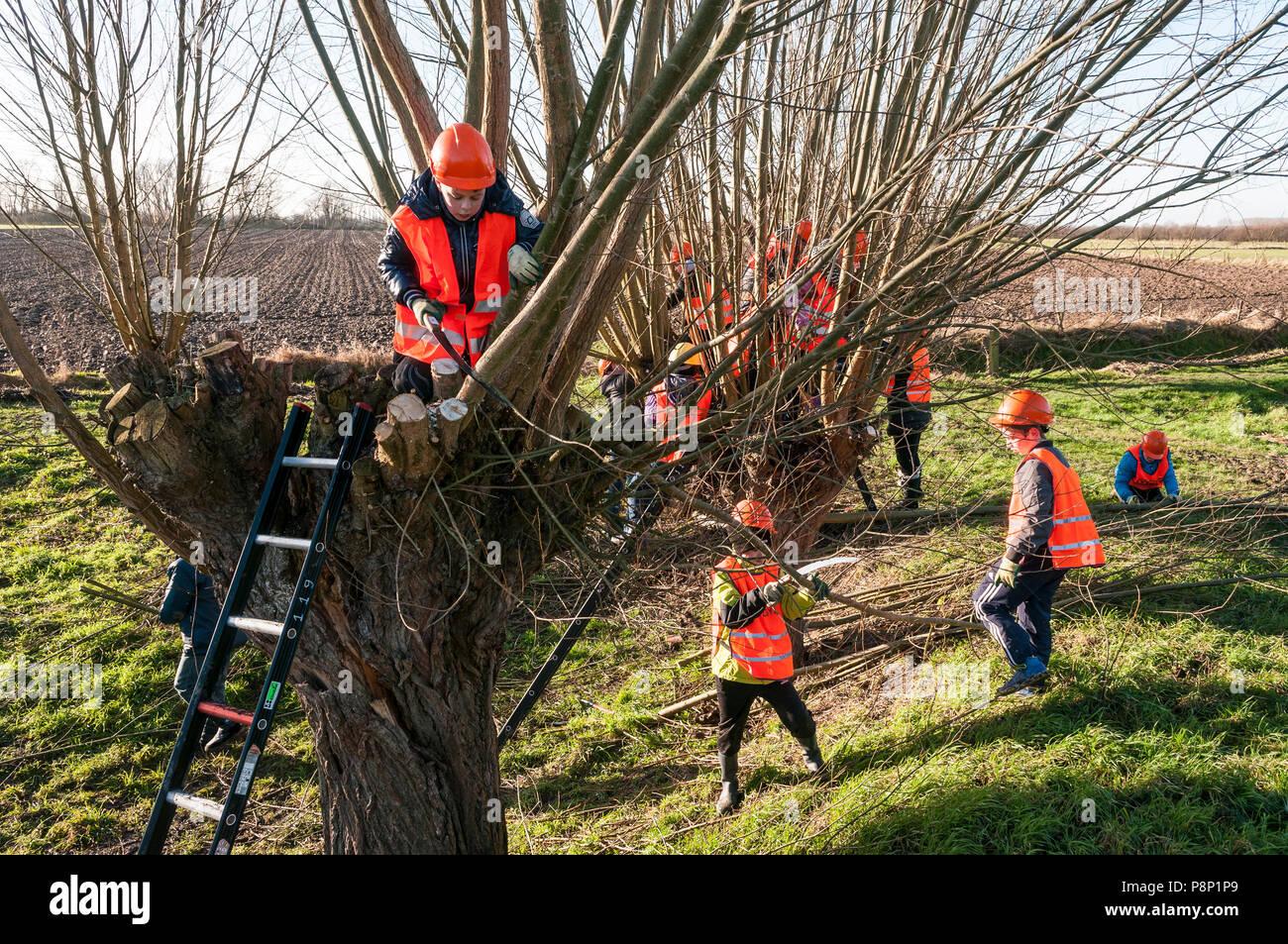 Children help with Pollarding willows. - Stock Image