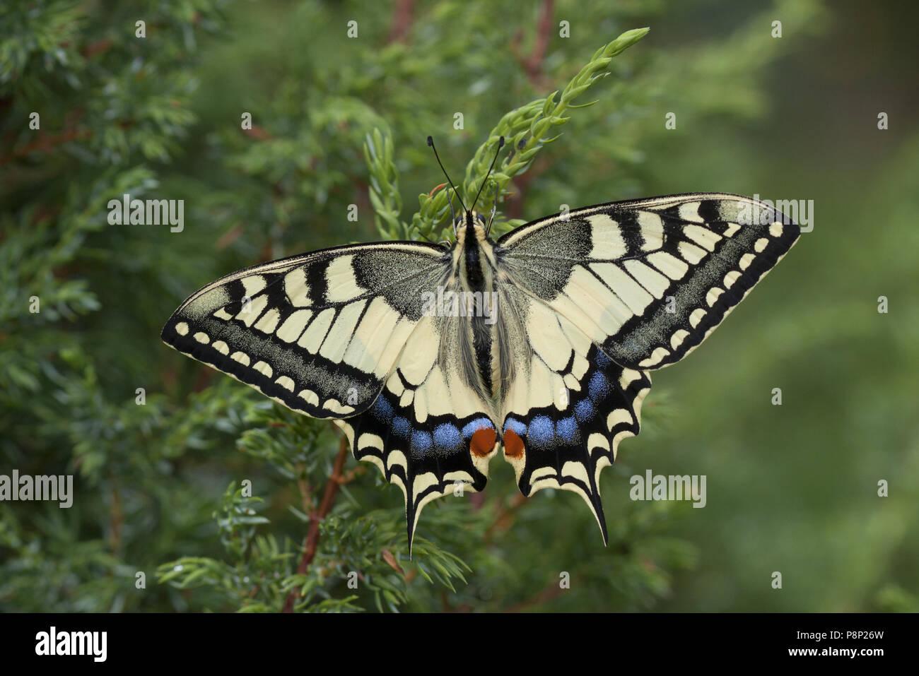 Swallowtail - Stock Image
