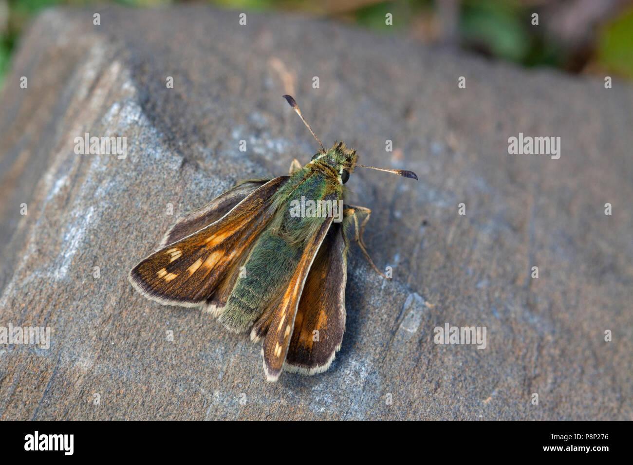 Silver-spotted Skipper; Hesperia comma Stock Photo