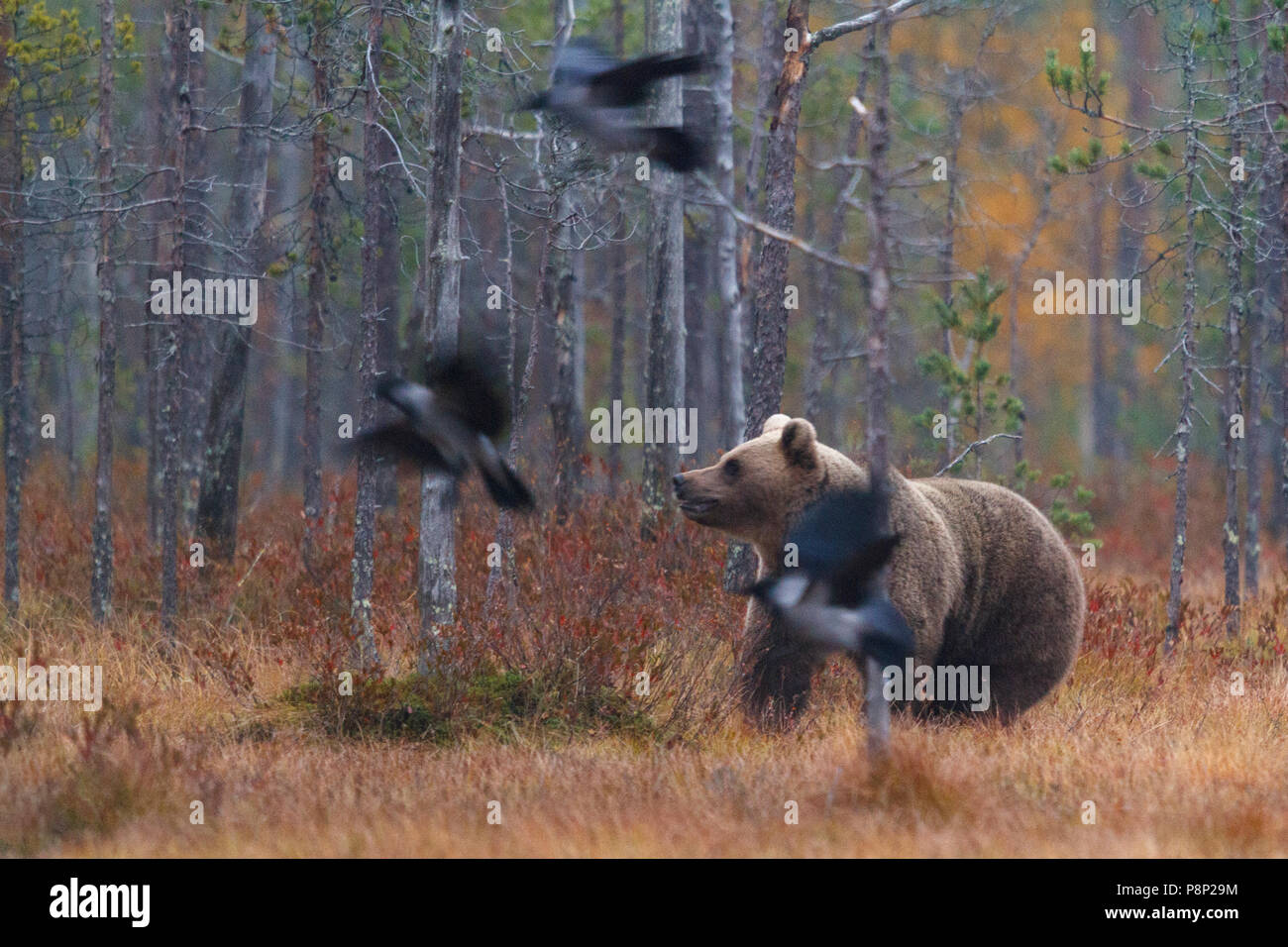 Bear is surrounded by hooded crows - Stock Image