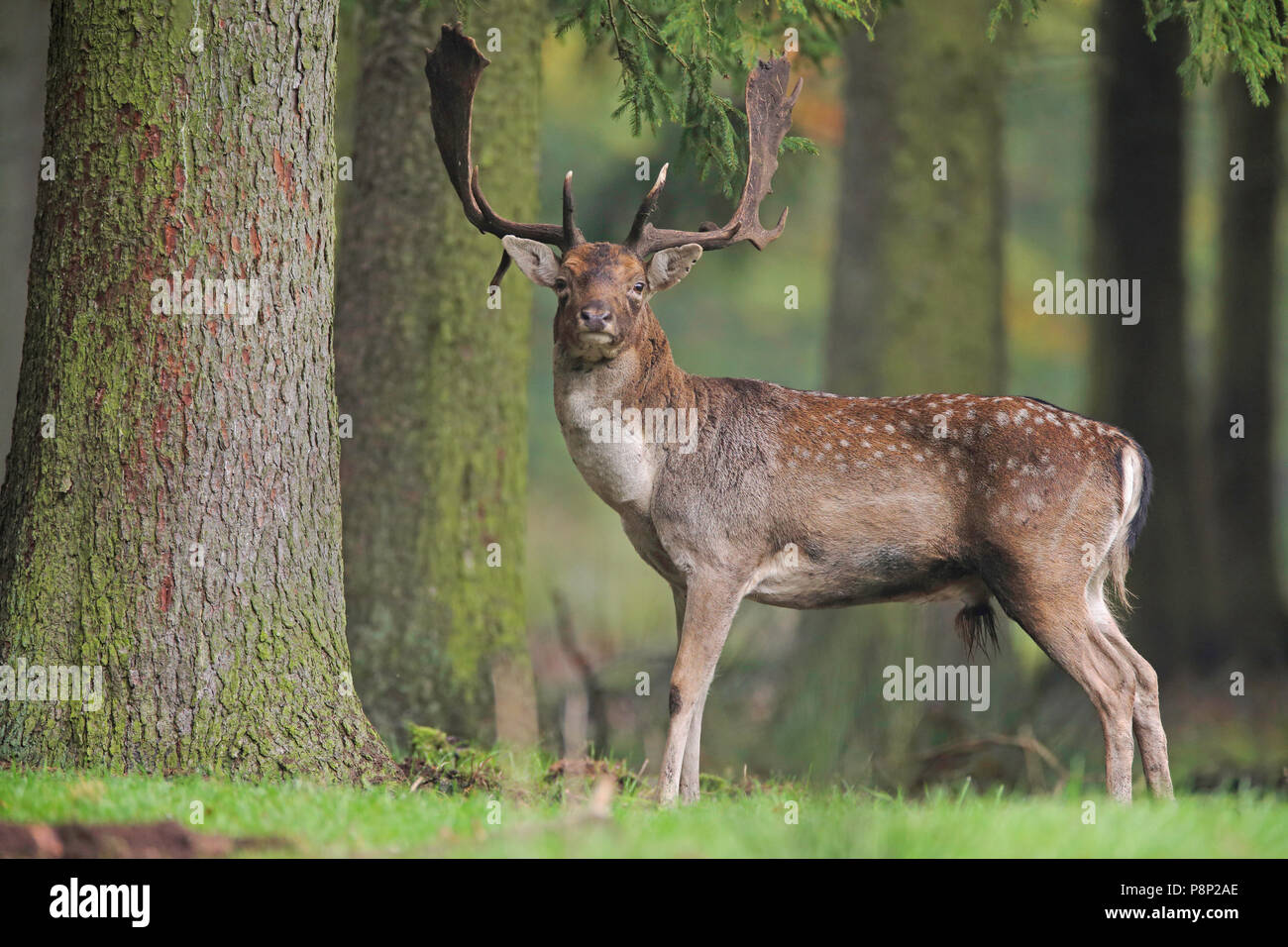 Fallow deer stag staring proudly in the lens... Stock Photo