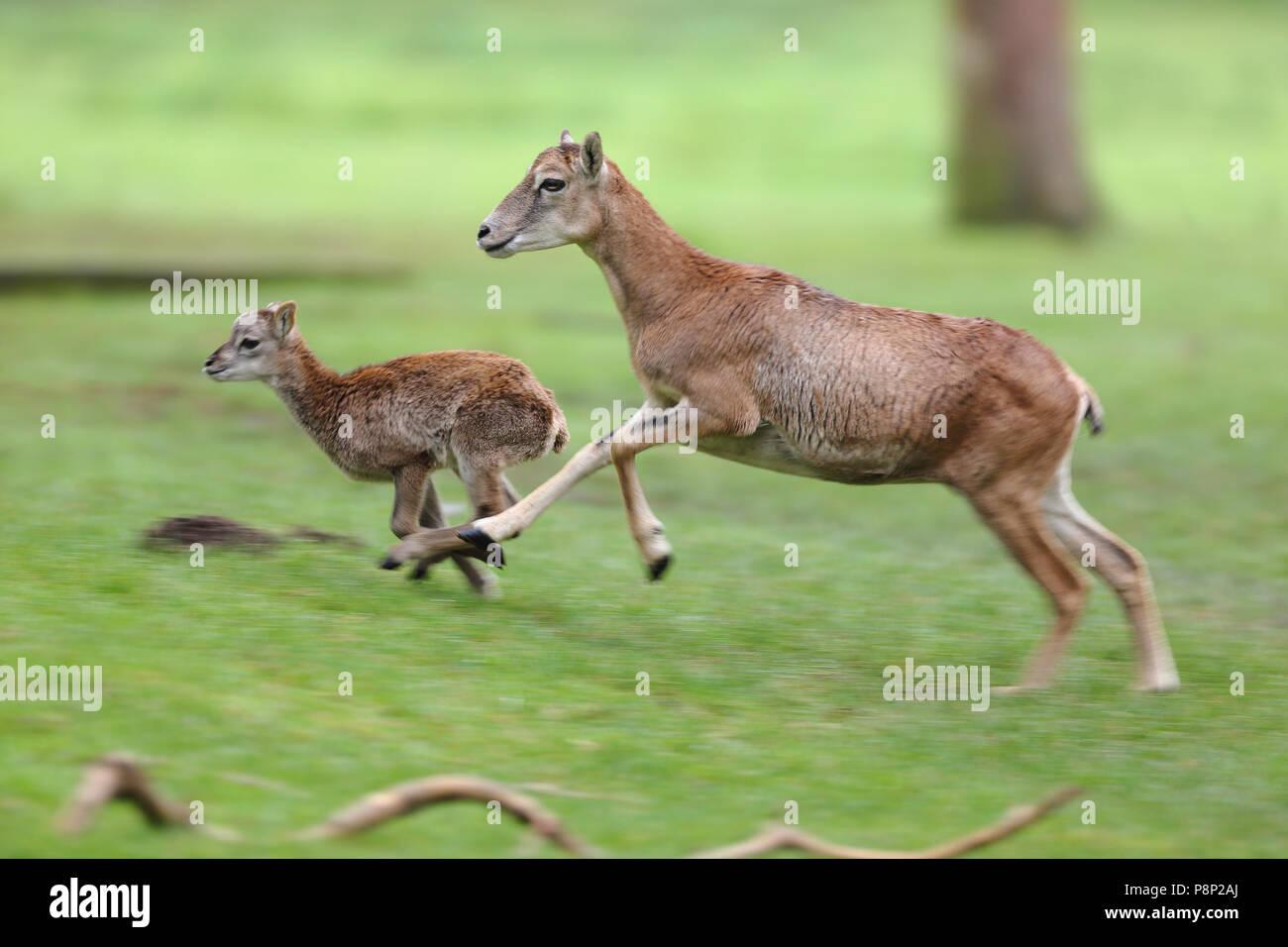 Mouflon ewe running with her young lamb. - Stock Image